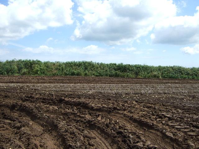 Potato field near Constantine