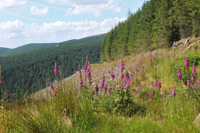 Foxgloves by the track