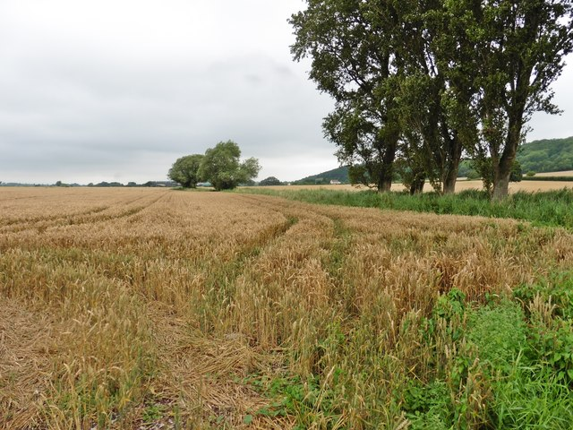 Wheat field at Lower Ivy Thorn Farm