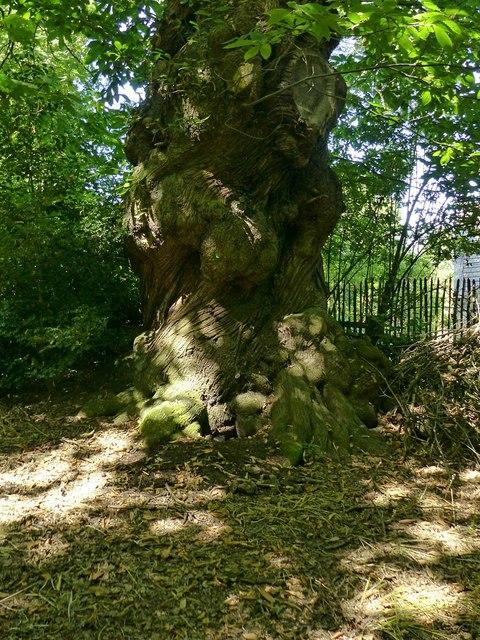 Spanish Chestnut tree, Shipley Hill