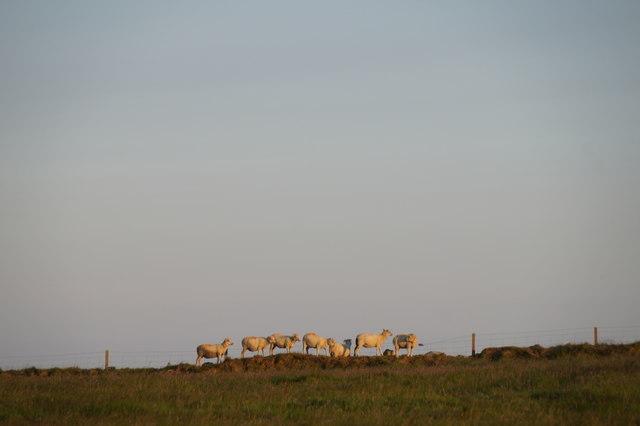 Sheep at Brakes, Haroldswick