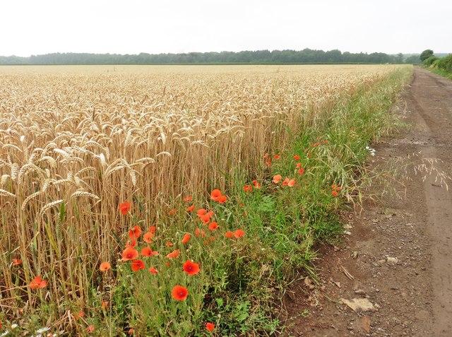 Wheat field with poppies, near Kingweston