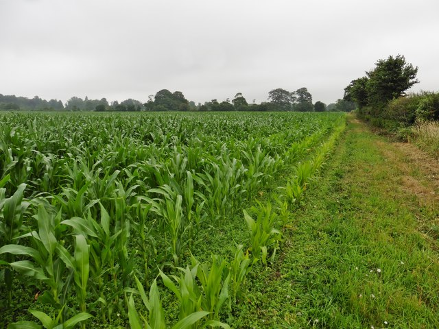Maize crop near Kingweston