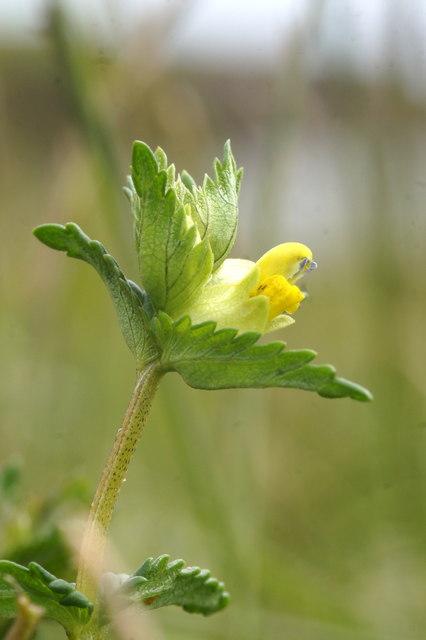 Yellow Rattle (Rhinanthus minor), Skaw, Unst