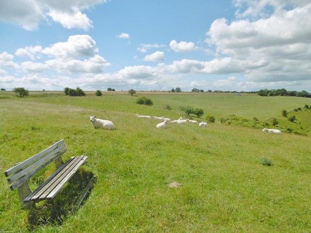 Westbury, sheep grazing