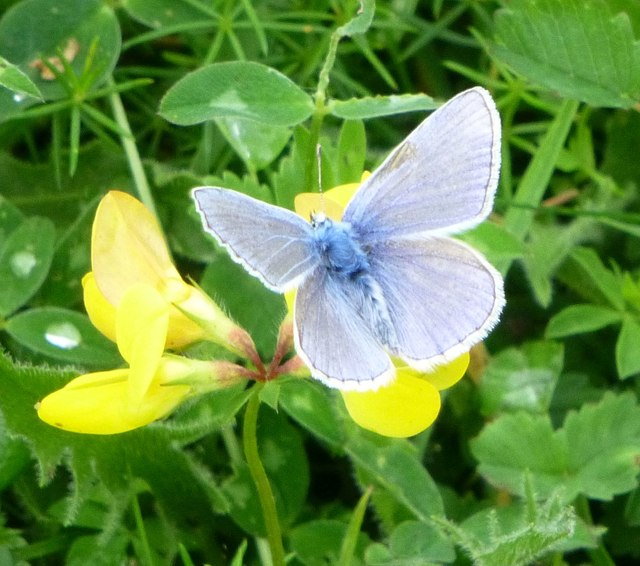 Common Blue Butterfly Male