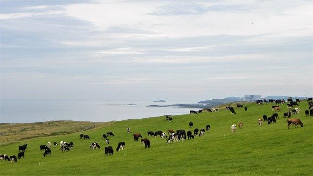 Coastal cattle near Carmel Head