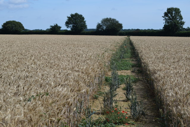 Footpath through field of barley