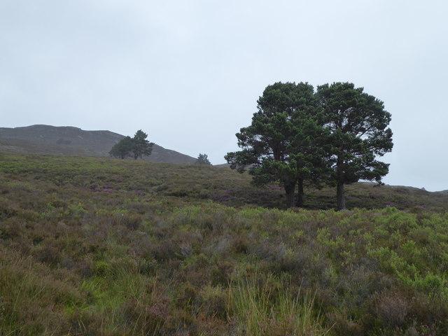 Scots pines, Coire na h-Uchdaich