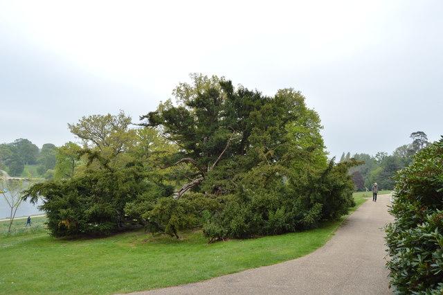 Yew Tree, Dunorlan Park