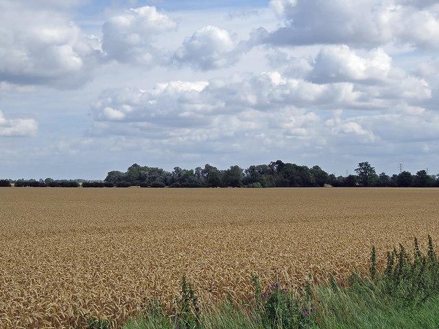 Near Horningsea: wheatfield and sky