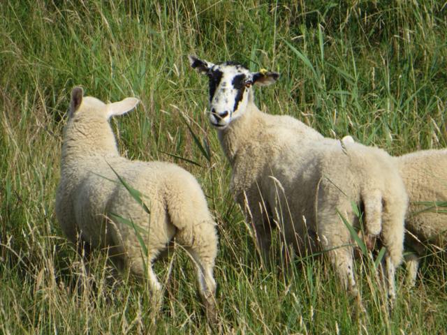 Sheep on Weeton Bank