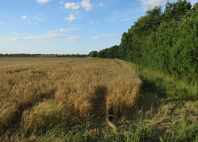 Barley field by the Roman Road