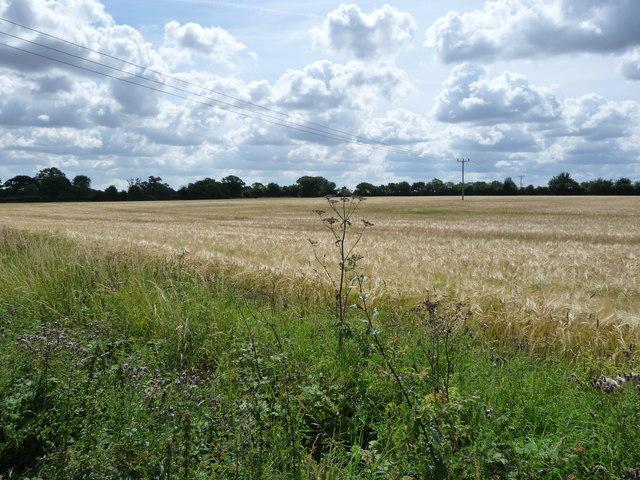 Power lines across a barley field