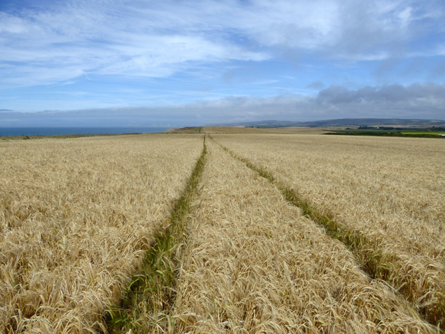 Barley field near Ladder Chine