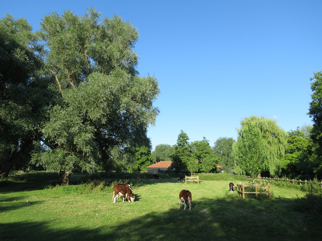Cows on Sheep's Green