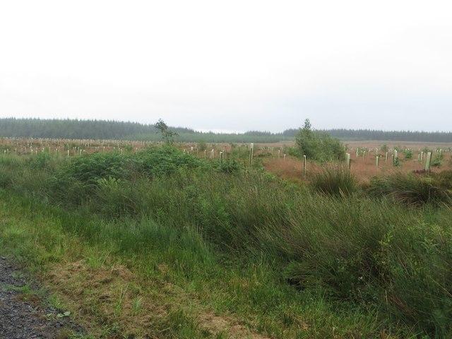Freshly replanted plantation near Felecia Crags