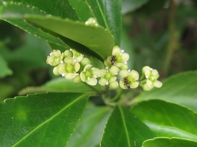 Ants foraging on flowers of Euonymus japonicus, garden hedge, Warwick
