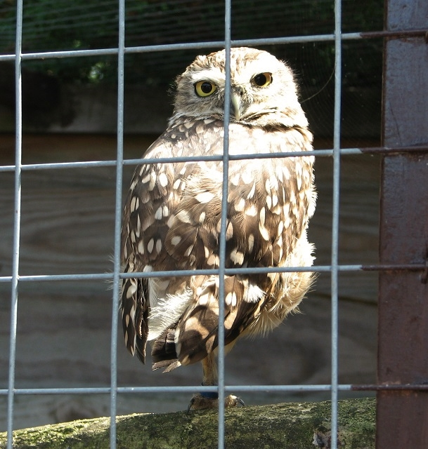 A Little owl at the Fritton Owl Sanctuary