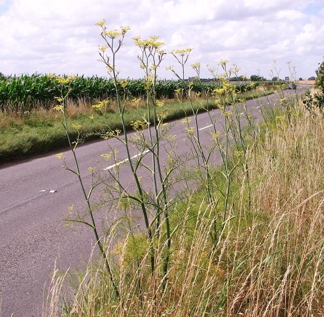 Image result for wild fennel