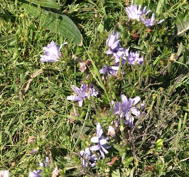 Common chicory (Cichorium intybus)