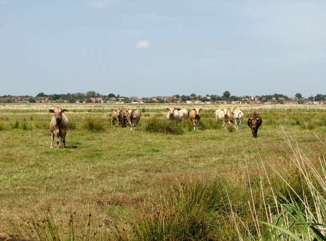 Cattle grazing in the Norton Marshes