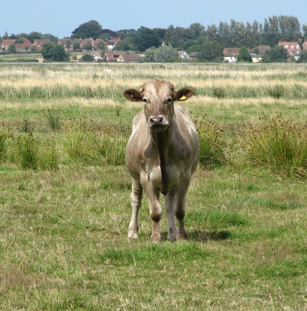 Grazing in the Norton Marshes