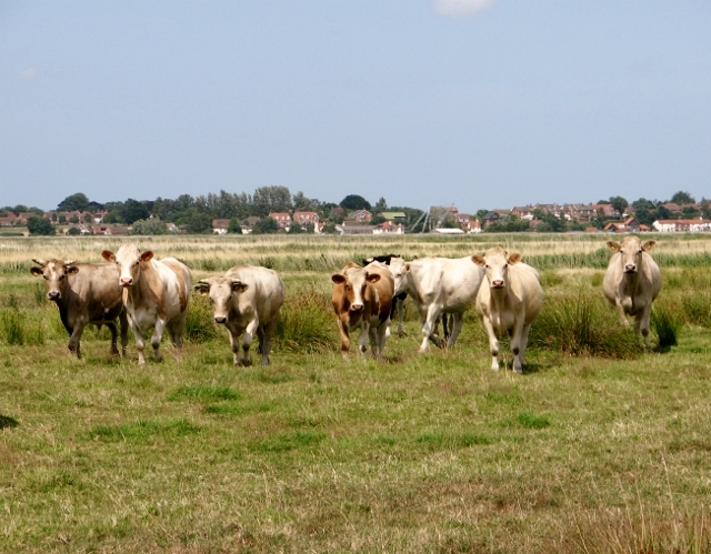 Cattle in the Norton Marshes