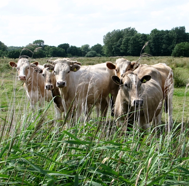 Bullocks in the Norton Marshes