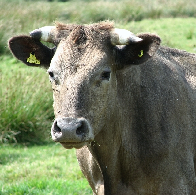 Portrait of a bullock