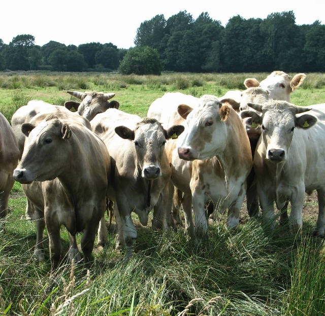 Curious bullocks in the Norton Marshes