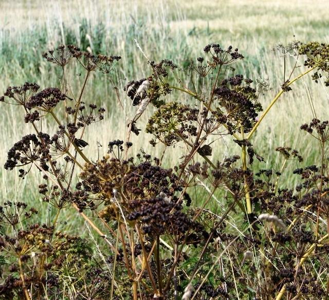 Alexanders (Smyrnium olusatrum) - seeds