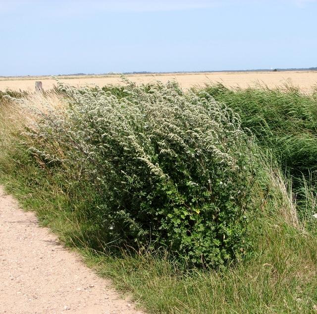 Mugwort in the Norton Marshes