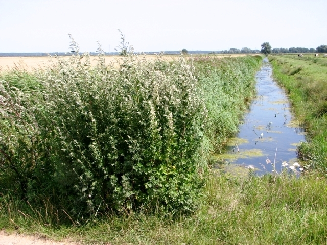Mugwort growing beside a drainage ditch in the Norton Marshes