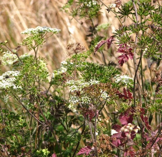 Upright hedge parsley (Torilis japonica) - flowers and seeds