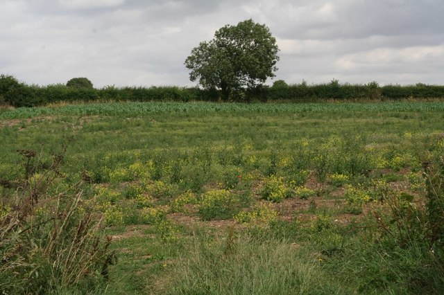 Field of colourful  yellow weeds by road to North Witham