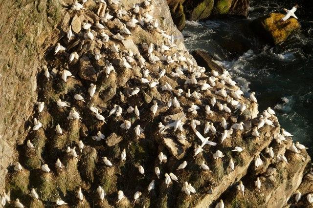 Nesting gannets on the Neap, Hermaness