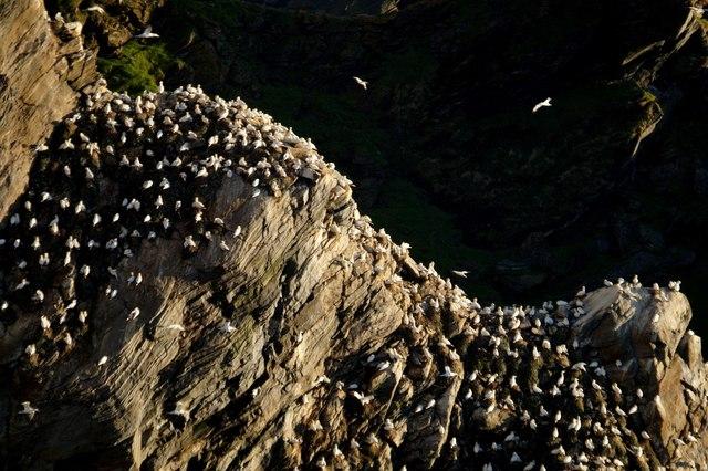 Nesting gannets on Saito, Hermaness