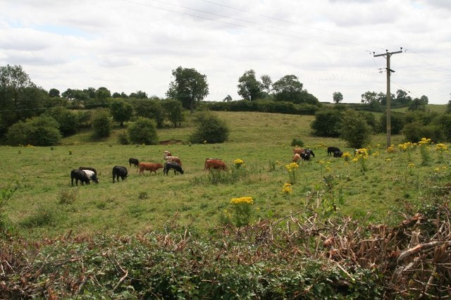 Cows among ragwort in a field on Stainby Road, Colsterworth