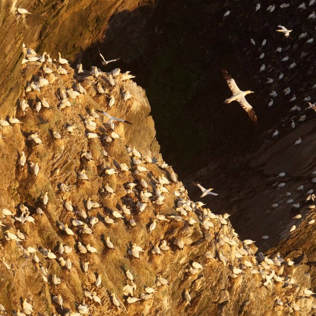 Breeding gannets on the Neap, Hermaness