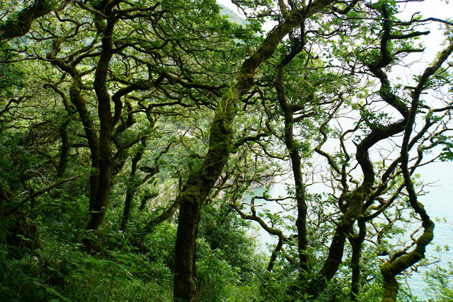 Sessile oaks above Woody Bay