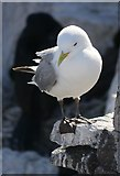 NU2135 : Kittiwake (Rissa tridactyla) On Inner Farne by James T M Towill