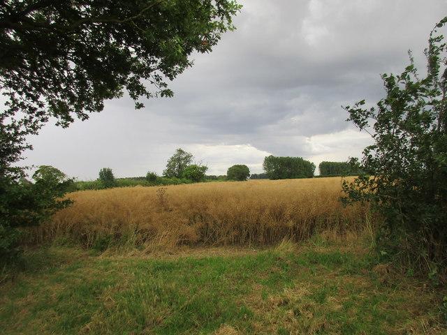 Ripe oilseed rape under a threatening sky