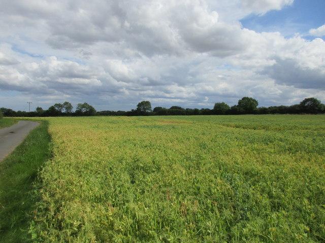 Field of peas off Ellerby Road