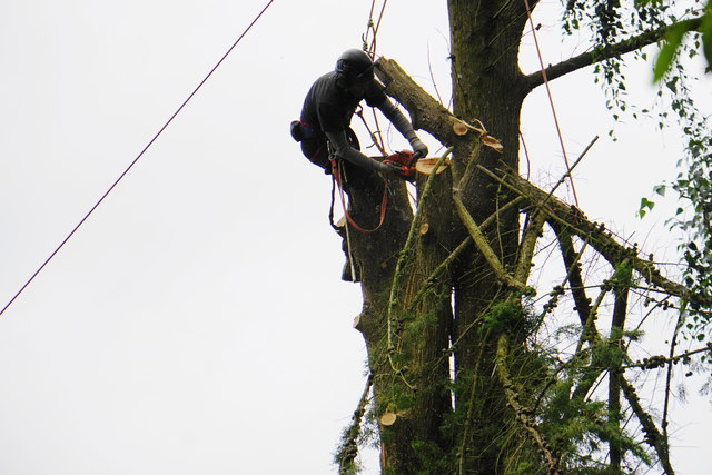 Tree-lopping at Lee Abbey
