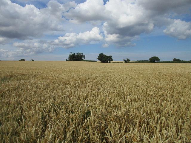 Wheat field off Langthorpe Road