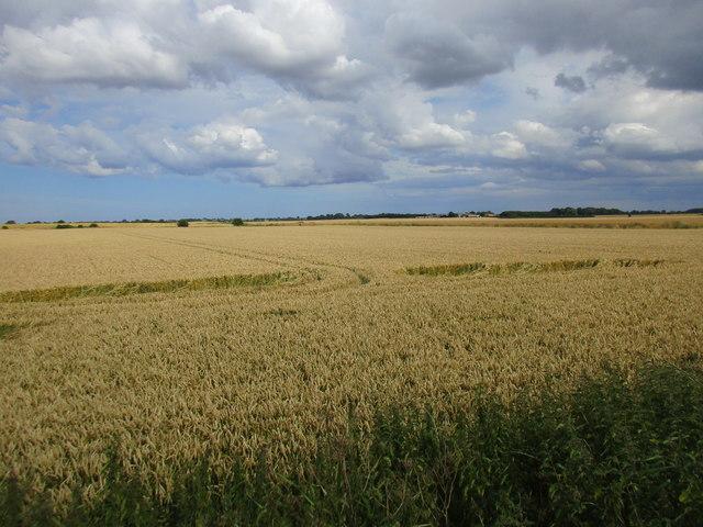 Wheat field near Kid Hill