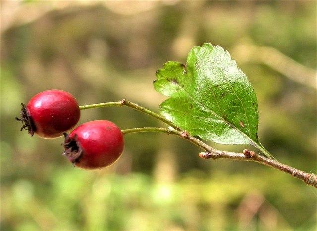 Midland hawthorn in Darwell Wood