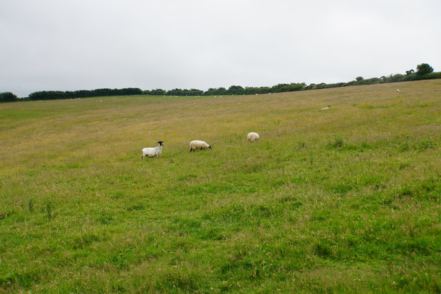 Sheep grazing near Croscombe Barton