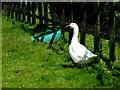 H2975 : Goose, Killoan by Kenneth  Allen